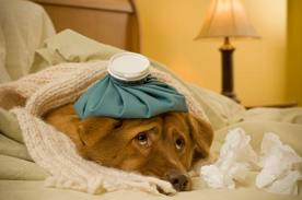 cute dog, sick in bed