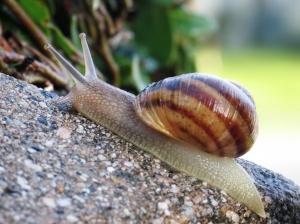 Photo: https://en.wikipedia.org/wiki/Helix_(gastropod)
